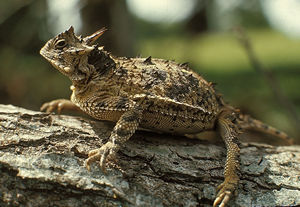 Horned lizard, Photo courtesy Texas Parks and Wildlife Department (c) 2003